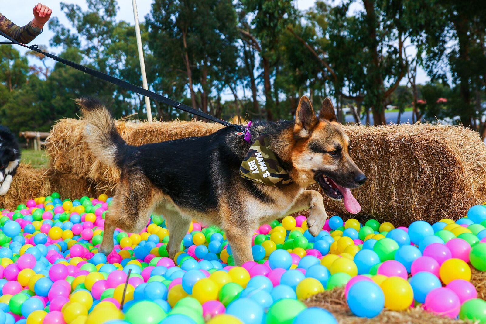 german shepard ball pit